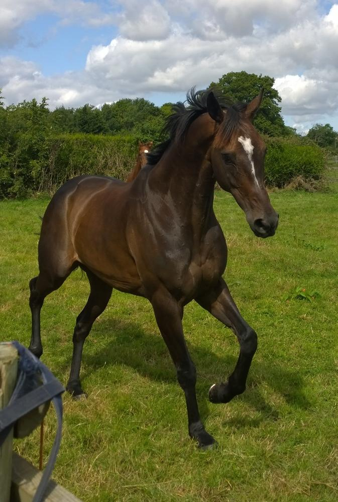 Castlemorris King enjoying the field with Norfolk Sky behind
